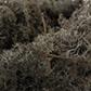 lichen-noir.jpg
